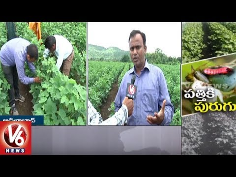 Pink Bollworm Attacks Cotton Crop In Adilabad District | V6 News
