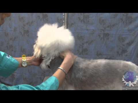 Koko Grooming and Dandie Dinmont Terrier wih Kamoko Tanaka