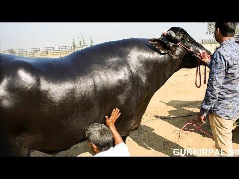 Murrah Bull Heera from Haryana