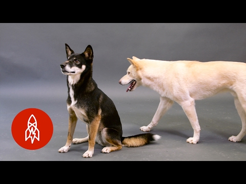 Australia's Wild Dog: A Cultural Symbol on the Brink