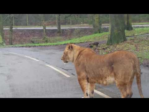 lion jumped on my car in safari park knowsley
