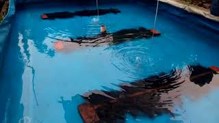Lele Mutiara - Proses Pemijahan  Secara Alami