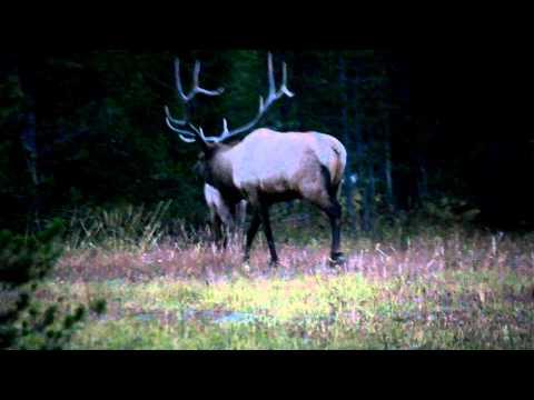 elk mating call yellowstone