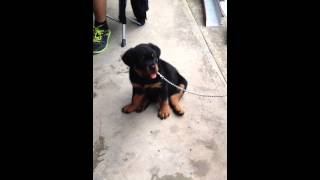 Mason The Rottweiler: Growing At 2 Months Old!