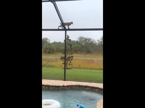 The Paul Castronovo Show - Florida Squirrel Barely Escapes Death By Bobcat