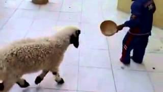 Le mouton du maroc