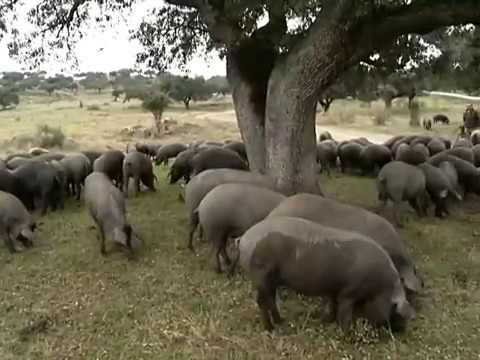 GR 2012 ESP porco ibérico p preparo do presunto pata negra