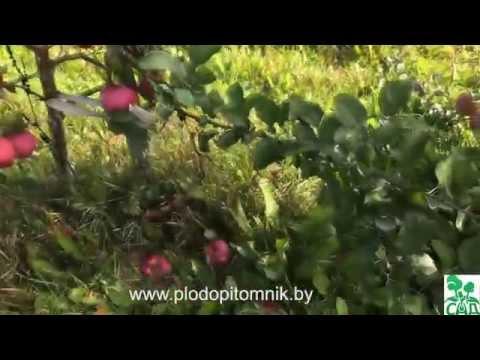 Яблоня сорт Брянское розовое