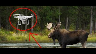 Необычная охота на лося с квадрокоптера Охота приколы
