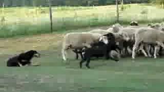 Kelpie Puppy (florida) Herding