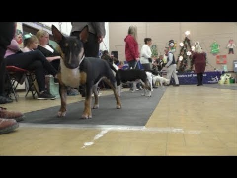 AMiniRumpus-Back-In-A-Minute Bull Terrier Miniature MBTC Xmas 2018