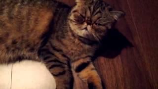 Экзотическая короткошерстная кошка Exotic Shorthair cat