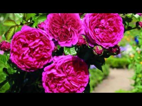 Стимуляторы для роз. Обзор по саду.