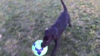 Black Labrador retriever puppy Sir Winchester Beauregard III Retrieving Soccer Balls at 13 weeks old