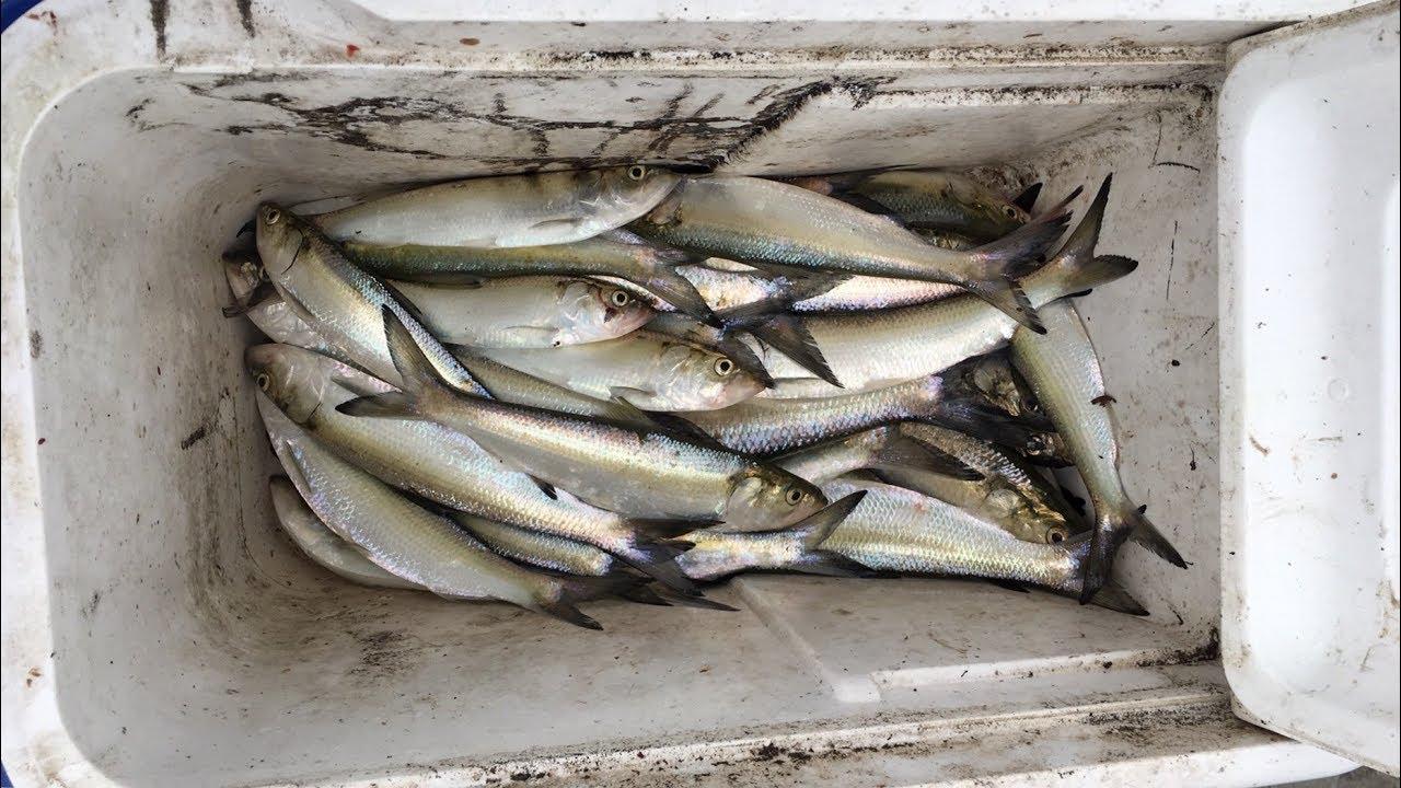 Using Skipjack tuna for bait - The Fishing Website  Skipjack Minnow