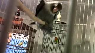 Single Terbaru -  Love Bird Dugem By Aang Radal
