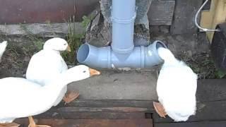 Поилка и кормушка автоматическая для домашней птицы: гусей, куриц, индюков. Своими руками.