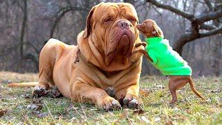 Самые большие породы собак мира - ТОП 10