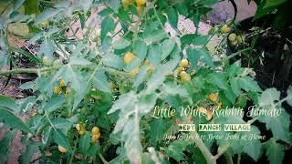 Download Video Tomat Chery Little White Rabbit. MP3 3GP MP4