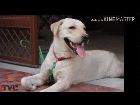 Life Of A Dog | Labrador | Ani | Dogs are love
