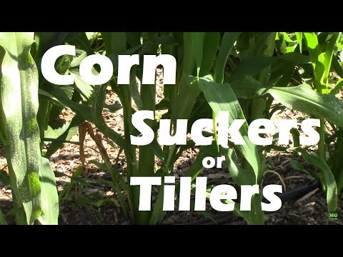 Corn Suckers or Corn Tillers on Gem Corn. Should they be removed?