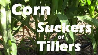 Download Video Corn Suckers or Corn Tillers on Gem Corn. Should they be removed? MP3 3GP MP4