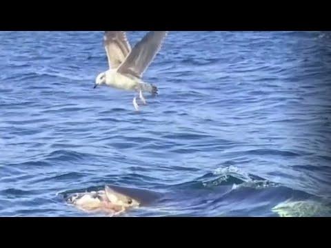Shark seen feeding in waters near Cape Breton coast