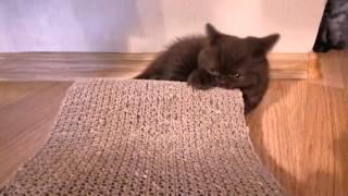 Маленький британский котёнок Обамка использует когтеточку не по назначению