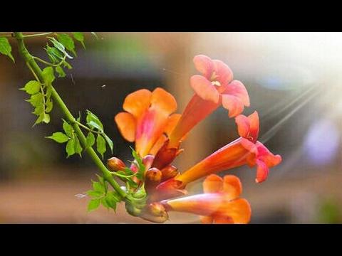 How to grow & care of Trumpet vine (Ticoma vine)