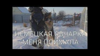 Джейкоб задержал преступника - (постанова) собака породы немецкая овчарка