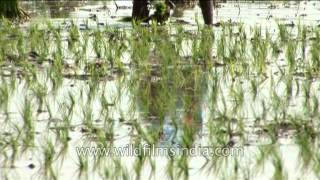 Planting rice in paddy fields, West Bengal