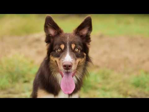 Border collie Maker - dog tricks, frisbee & fun