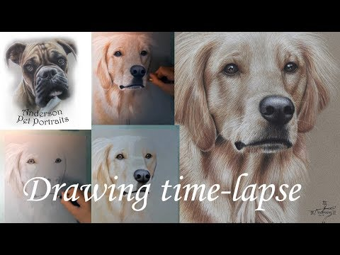 drawing-a-golden-retriever-in-colored-pencil---time-lapse-video