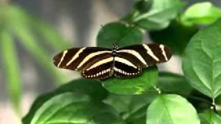 Kinobe - Butterfly (Swag