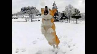 (hd) Snow Ball 20100202 Goro@welsh Corgi