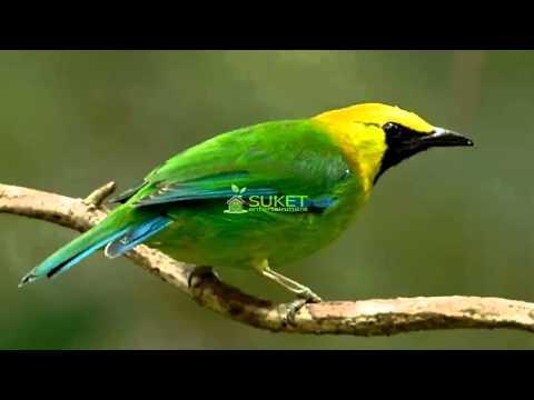 Suara Burung Cucak Rante Masteran Variasi Mp3