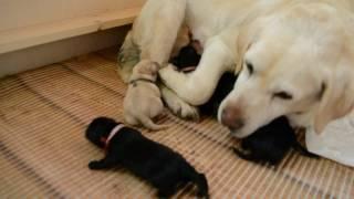 Лабрадор новорожденные щенки