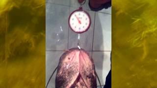 Подводная охота на сома в Челябинской области(Ребята, 19 июня 2016 года, сразу после нерестового запрета, будет мастер-класс по подводной охоте! Главный спик..., 2016-02-22T13:00:01.000Z)