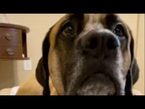 Drooling mastiff blows huge spit bubble