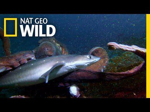 Octopus vs. Shark | Shark vs. Predator