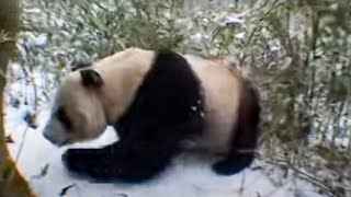 Giant panda bears in the forest - David Attenborough  - BBC wildlife