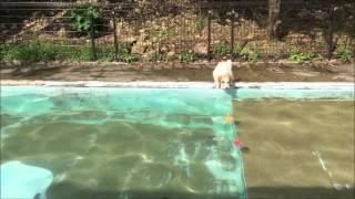 ジャックラッセルテリア ピースとコーイケルホンディエ ルーナのプール...