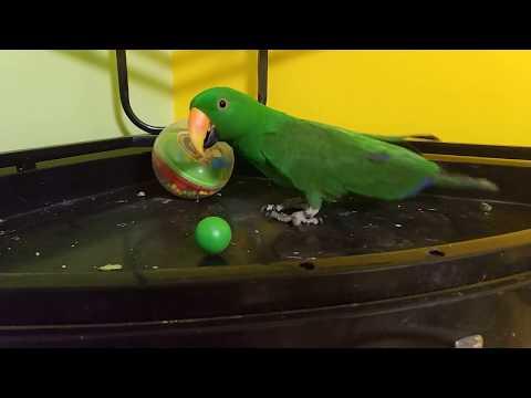 Эклектус играет с шариком