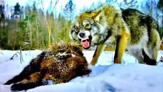 Собаки на почтовых марках. Зарождение волчьих.  Dogs on stamps. The origin of the wolf.