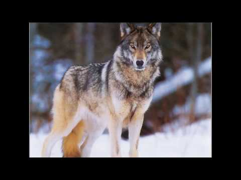 Sergey Prokofiev - Pierre et le loup / Peter and the Wolf / Pedro y el lobo / Петя и волк