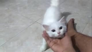 Tingkah Lucu Kucing Anggora Kecil y...