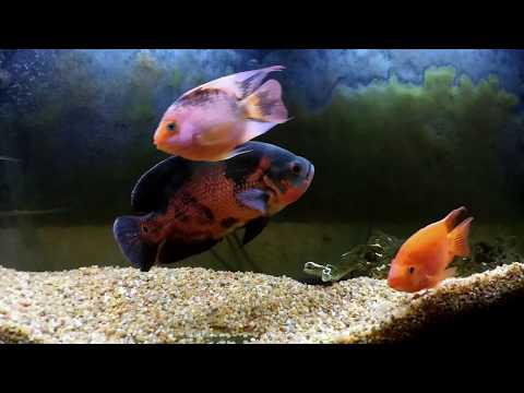 Red Tiger Oscar Red Mammon Pink Tail Chalceus Xiaomi Yi