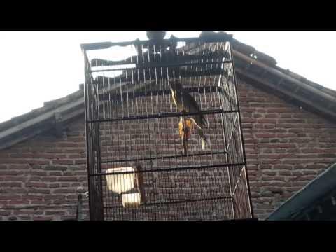 Burung Ara Timor Mata merah Koleksi Rumah #2