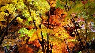 「大田原(佐久山)御殿山公園 紅葉ライトアップ」紅葉絶景! in Otawara  (栃木県大田原市)