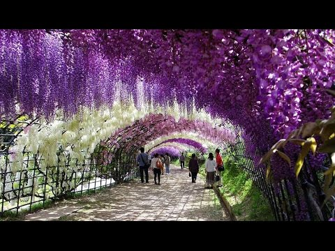 Amazing Wisteria Flower Tunnel Kawachi Flower Garden In Japan